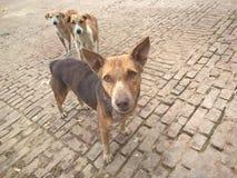 Perros de Desi de Varanasi imágenes de archivo libres de regalías