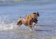 Perros de la alta energía funcionados con juntos fuera del océano en la playa del perro foto de archivo
