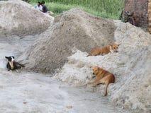 Perros de la calle que descansan sobre la arena fotografía de archivo libre de regalías