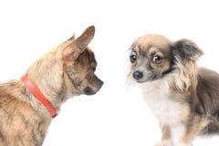 Perros de la chihuahua Imagen de archivo libre de regalías
