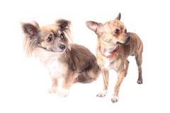 Perros de la chihuahua Fotografía de archivo