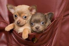 Perros de la chihuahua en un bolsillo de la capa Foto de archivo