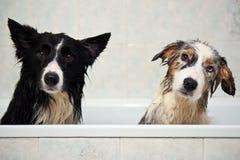 Perros de la ducha foto de archivo
