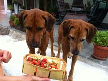 perros de la fresa Fotos de archivo