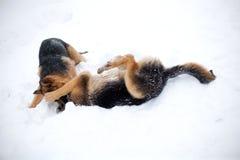 Perros de la lucha Fotografía de archivo libre de regalías