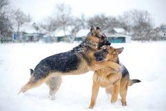 Perros de la lucha Foto de archivo