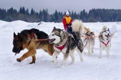 Perros de la nieve Fotos de archivo