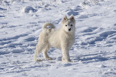 Perros de la nieve Fotos de archivo libres de regalías