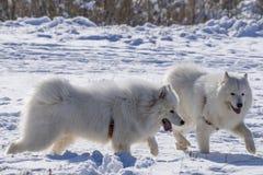 Perros de la nieve Imagenes de archivo