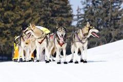 Perros de la raza Fotografía de archivo