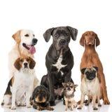 Perros de la raza imagen de archivo libre de regalías