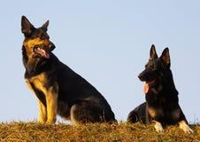 Perros de la seguridad Imagen de archivo libre de regalías