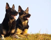 Perros de la seguridad Fotos de archivo libres de regalías