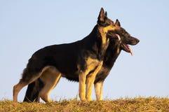 Perros de la seguridad Imágenes de archivo libres de regalías