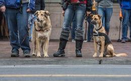 Perros de la seguridad en el desfile local fotografía de archivo libre de regalías