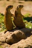 Perros de las praderas Foto de archivo libre de regalías
