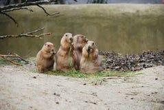 Perros de las praderas Imagen de archivo libre de regalías
