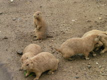 Perros de las praderas Imagenes de archivo