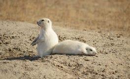 Perros de las praderas blancos Imagen de archivo libre de regalías
