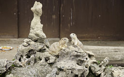 Perros de las praderas en cautiverio Foto de archivo