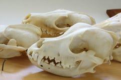 Perros de los cráneos de los animales Fotografía de archivo