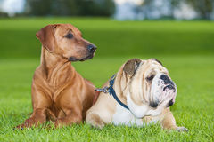 Perros de los mejores amigos Foto de archivo libre de regalías