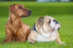 Perros de los mejores amigos Imagen de archivo