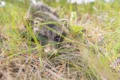 Perros de mapache del perrito en su hábitat natural Foto de archivo