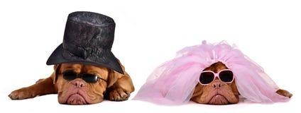Perros de novia y del novio - ceremonia de boda Fotografía de archivo libre de regalías