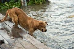 Perros de oro del filón de la calle que juegan el agua del canal Imágenes de archivo libres de regalías