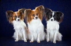Perros de Papillon fotos de archivo