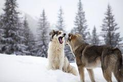 Perros de pastor Fotografía de archivo