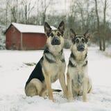 Perros de pastor alemán en la nieve por el granero rojo Fotos de archivo libres de regalías