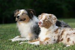 Perros de pastor australianos Fotografía de archivo libre de regalías