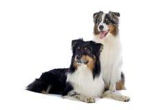 Perros de pastor australianos Imagen de archivo libre de regalías