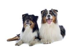 Perros de pastor australianos Foto de archivo libre de regalías