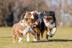 Perros de pastor australianos que corren en el prado Imagenes de archivo