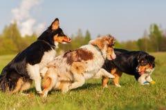 Perros de pastor australianos que corren para un juguete Foto de archivo libre de regalías