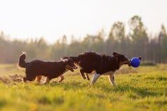 Perros de pastor australianos que juegan con una bola Fotos de archivo libres de regalías