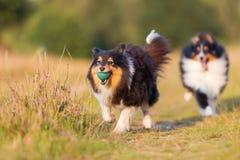 Perros de pastor australianos que juegan en una trayectoria del país Imagenes de archivo