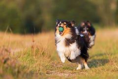 Perros de pastor australianos que juegan en una trayectoria del país Imágenes de archivo libres de regalías