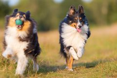 Perros de pastor australianos que juegan en una trayectoria del país Fotos de archivo libres de regalías