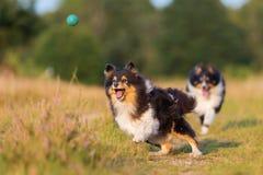 Perros de pastor australianos que juegan en una trayectoria del país Fotografía de archivo