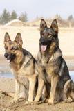 Perros de pastores alemanes Imagen de archivo