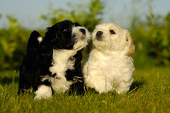 Perros de perrito blancos y negros Imagenes de archivo