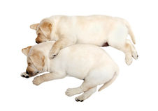 Perros de perrito de Labrador Imágenes de archivo libres de regalías