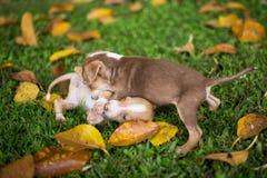 Perros de perrito del bebé que juegan con enojado fotografía de archivo