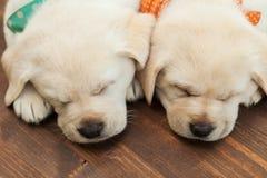 Perros de perrito lindos de Labrador que duermen en el piso de madera - cierre para arriba en la reclinación de las cabezas imágenes de archivo libres de regalías