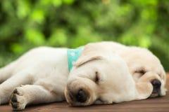 Perros de perrito lindos de Labrador que duermen en la superficie de madera - cierre para arriba fotografía de archivo