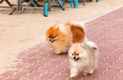 Perros de perrito pomeranian de Blanco-Brown Fotos de archivo